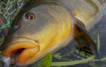 рыбы в Кыргызстан: Матки изчезающи виды рыбы Маринки
