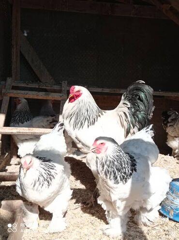 Животные - Селекционное: Светлый брама тооктор сатылат баасы келишим баада.Кызыккандар ушул