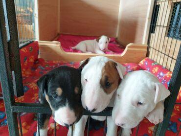 Για σκύλους - Αθήνα: Αγγλικά Bull Terrier κουτάβια προς πώλησηΑγγλικά κουτάβια Bull Terrier
