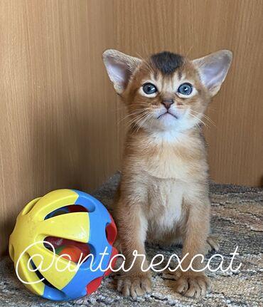 """Абиссинские котята из питомника """"Антарекс"""". Предлагаем для"""