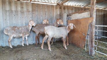 Продаю | Овца (самка), Баран (самец) | Гиссарская | Для разведения