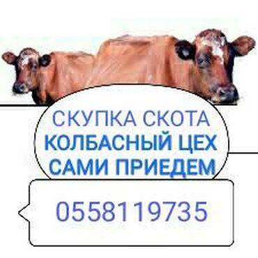138 объявлений   ЖИВОТНЫЕ: Куплю   Коровы, быки   На забой, на мясо