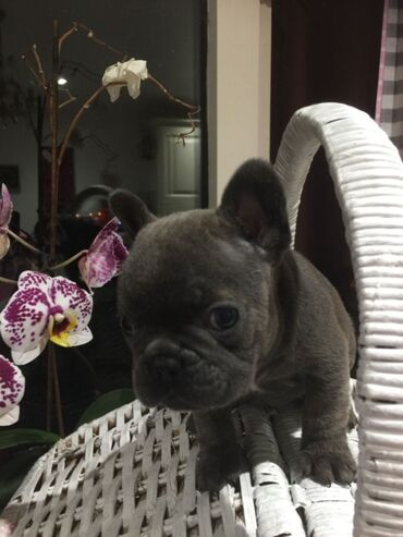 French Bulldog για υιοθεσία μικροτσίπ, ελεγμένο κτηνίατρο, όλα