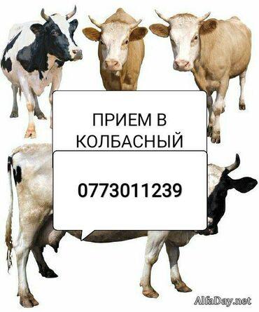 купить постельное белье для гостиниц в розницу в Кыргызстан: Куплю СКОТ В КОЛБАСНЫЙ ЦЕХ Без посредников дорого
