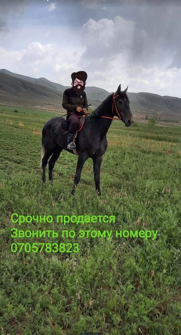 Животные - Кызыл-Суу: Жорго байтал 2 жашСамка Иноходец Возраст - 2 года .Отец - ПлинийМать -