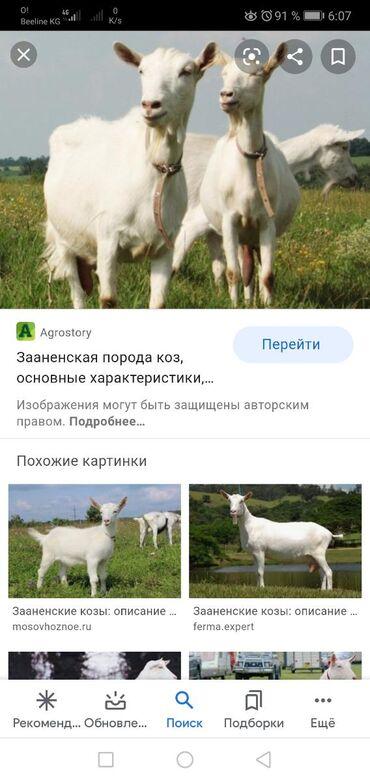 Куплю высоко дойных коз