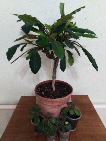 Комнатные растения в Кок-Ой: Пальма в большом керамической горшке, 1000сом детки 80-100сом