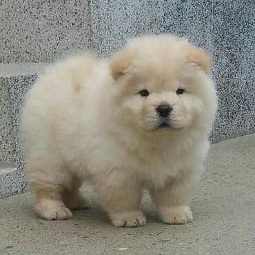 Chow chow Ready for rehoming both genders available, vaccinated and
