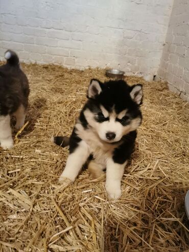 Siberian Husky for sale  WhatsApp me +33  We have male and female Sibe