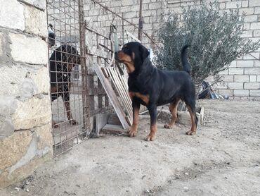 pulsuz bag evleri - Azərbaycan: Tecili 2 yasi var temiz medved rotveyler erkeydi axranaligi superdi