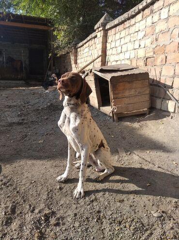 138 объявлений   ЖИВОТНЫЕ: Продаю собака охотничья Курцхаар сучка 9 месяца Очень добрая