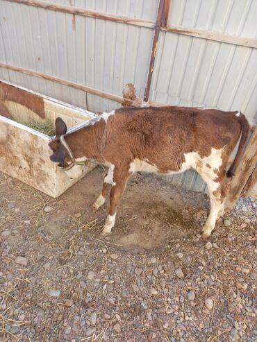 Животные - Манас: Прод корова с теленком 2 отел теленок 2 месяц молоко 10 15 литр