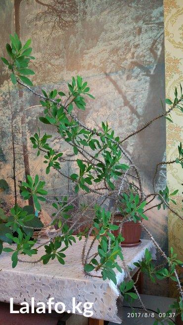 Продается комнатное растение - молочай.  в Каракол