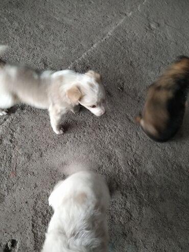 Собаки - Бишкек: Отдаю в хорошие руки даром!