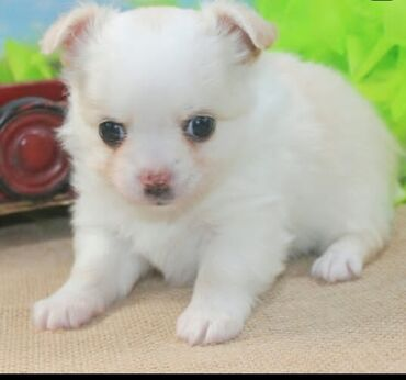 Beautiful chihuahua puppies Both genders available, vaccinated and