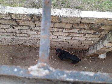 lal - Azərbaycan: Tecili temiz amerkan ritveyler15 ayliqdi erkey itlerim coxdu. barte
