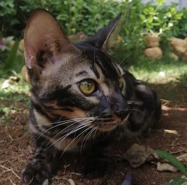 Животные - Милянфан: Продаётся Бенгальский котик угольного окраса, по кличке Batman. Можно