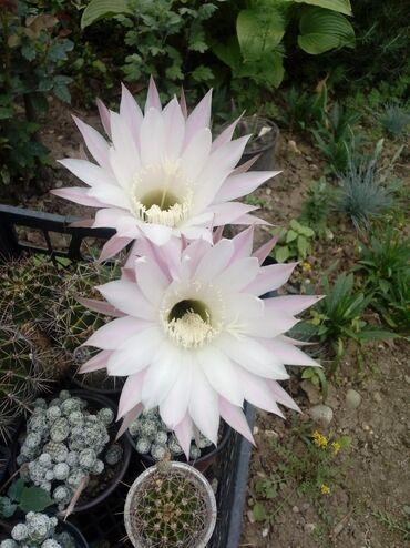 Kaktus precnik od 5-7 cm 250 din Cveta kao na slici