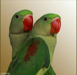 Попугаи александрийские для обучения к разговору в Кок-Ой