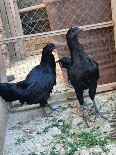 sumatra - Azərbaycan: Salam 1cut sumatra satilir. qiymet 150m. becenin ustunde qizili