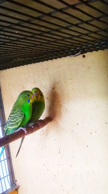 Волнистые попугаи молодые