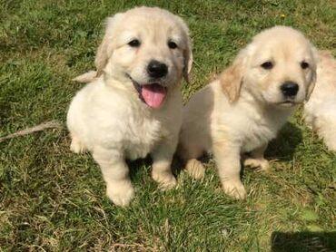 Για αγροτικά ζώα - Ελλαδα: Γλυκά Golden Retriever κουτάβια προς πώλησηΠώληση κουτάβια Golden
