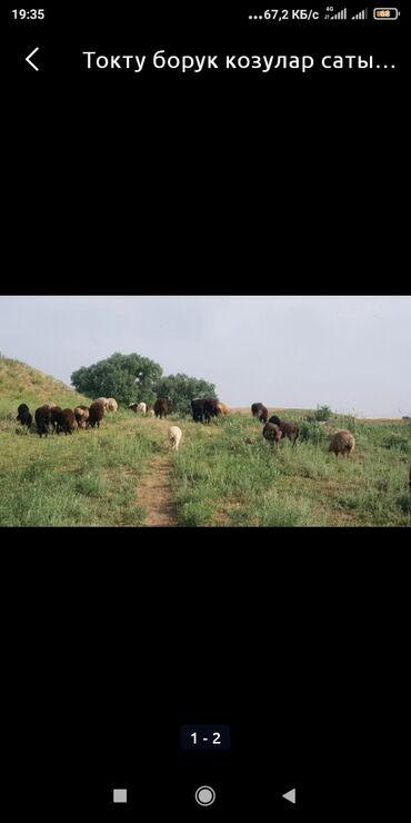 Животные - Джалал-Абад: Козулар сатылат 80 баш эркек