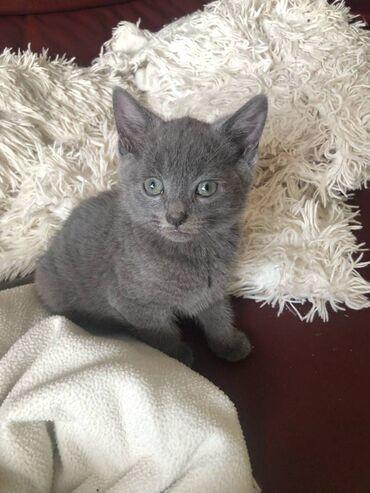 Russian Blue kittens for SaleRussian Blue kittens for sale These