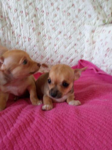 138 объявлений   ЖИВОТНЫЕ: Чихуахуа две девочки два месяца очаровательные красавицы ласковые