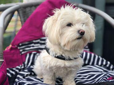 Αντικείμενα και Αξεσουάρ για κατοικίδια ζώα - Ελλαδα: Διαθέσιμα φανταστικά λευκά κουτάβια από τη ΜάλταΔιατίθενται χαριτωμένα