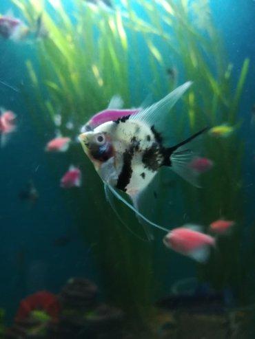 Разные аквариумные рыбы сокулук центр всё вопросы по телефону в Сокулук
