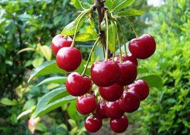 Сад черешни 1,5га в Турция Испарта в Чон-Сары-Ой