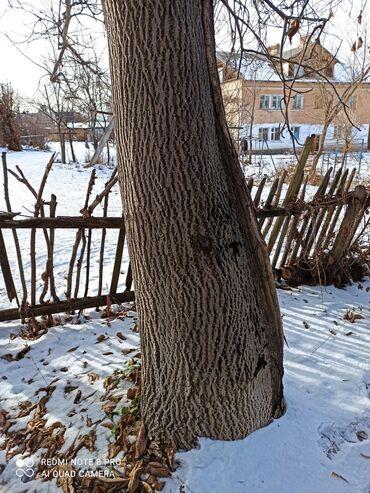 73 объявлений: Продам 2 огромных дерева орех! Самоспил, самовывоз! 1 дерево около