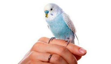 Волнистые попугаи Очень легко приручаются!! Всего лишь 500