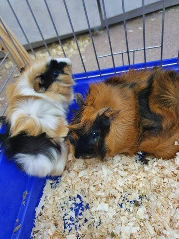 Продаются 2 морские свинки (мальчики) цена за 2-х