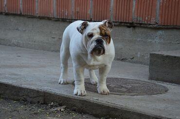 Kućni ljubimci - Srbija: Na prodaju Honey, prvobirano žensko štene engleskog buldoga, stara 5
