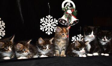 акустические системы promate беспроводные в Кыргызстан: Мейн кун котята. Профессиональный питомник кошек породы Мейн кун
