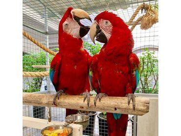 Οι παπαγάλοι είναι κλειστοί εκτρέφονται, οι παπαγάλοι είναι καλού