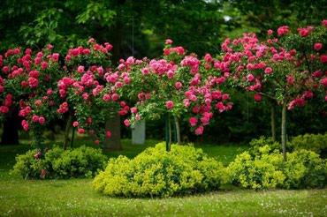 Штамбовые розы в Бишкек
