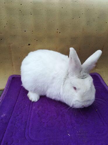 Грызуны - Кыргызстан: Продаю кроликов порода новозиланская белая чистокровная на первом и