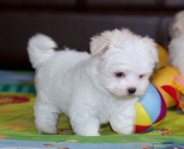 Kc Registered Maltese puppies for saleWe have male and female Kc