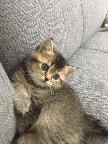 Чистокровные британский котёнок. Окрас чёрное золото