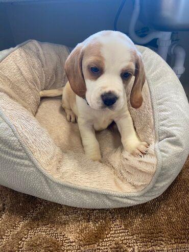 Πώληση κουτάβια BeagleWhatsapp (+)Ρίξτε μια ματιά σε αυτό το