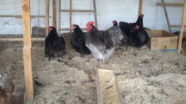 куплю-курей-брама в Кыргызстан: Орпингтон чёрный голубой 1 петушок и 4 курочки. Орпингтон палевый