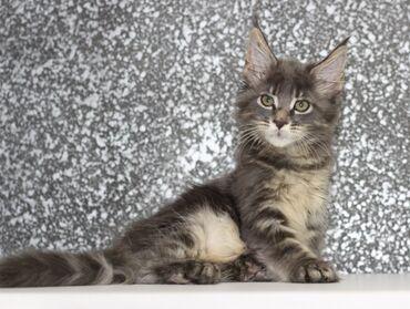 Животные - Байтик: Котенок Мейн кун. Мальчик. Дата рождения 20 апреля 2021 года. Мейн