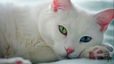 Продаю котят Турецкой Ангоры в Бишкек