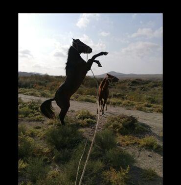 - Azərbaycan: Satilir. yorga atlar. gelib minib baxa bilersiz. Abseron Pürəkəşkül