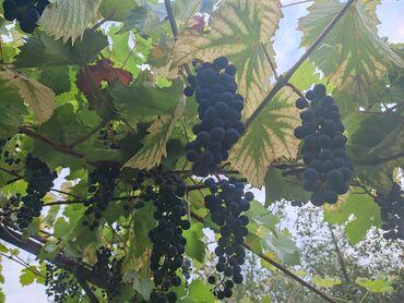 52 объявлений: Продаю виноград винный