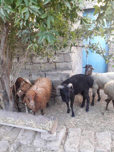 quzu - Azərbaycan: Quzu ve qara qoc. Istiyen elaqe saxlasin. Unvan Merdekan