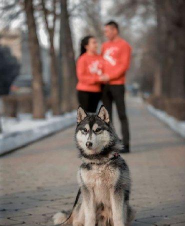 хаски в Кыргызстан: Фотосессия с хаски🥰